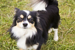 Long Haired Chihuahua. A cute long haired chihuahua posing for the camera in the sun stock images