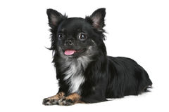 Long-haired chihuahua dog. On a white background stock photo