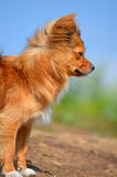 Long-Haired Chihuahua. Dog breed long-Haired Chihuahua. Dog red color. a nature walk stock photography