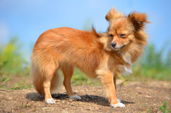 Long-Haired Chihuahua. Dog breed long-Haired Chihuahua. Dog red color. a nature walk stock images