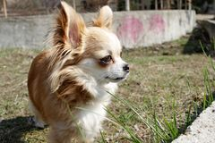 Long haired Chihuahua dog outdoor. Cute golden Chihuahua from Mexico. Long haired Chihuahua dog outdoor. Cute golden Chihuahua from Mexico royalty free stock image