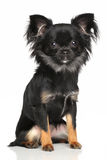 Long-Haired Chihuahua. Dog sits in front of white background royalty free stock image