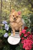 A Long Haired Chihuahua in a Mailbox Stock Image