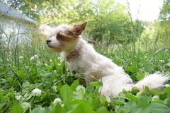 Long haired chihuahua. Mix outside in back yard stock photo