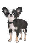 Long haired chihuahua puppy Stock Images