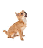 Long haired chihuahua puppy dog. Barking in front of a white background stock image