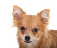 Long haired chihuahua puppy dog close-up. Close-up of a Long haired chihuahua puppy dog in front of a white background stock photos
