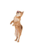 Long haired chihuahua puppy dog doing trick. Long haired chihuahua puppy dog standing on rear legs isolated on white royalty free stock images