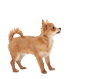 Long haired chihuahua puppy dog. In front of a white background royalty free stock photos