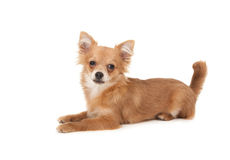 Long haired chihuahua puppy dog. In front of a white background royalty free stock photo