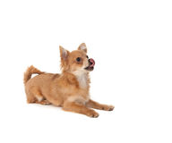 Long haired chihuahua puppy dog. Licking in front of a white background royalty free stock image