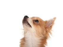 Long haired chihuahua puppy dog looking up. In front of a white background stock photography