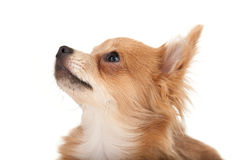 Long haired chihuahua puppy dog looking up. In front of a white background royalty free stock photography