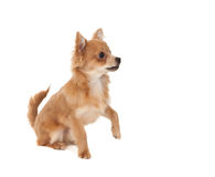 Long haired chihuahua puppy dog. With one paw in the raised on a white background stock photos