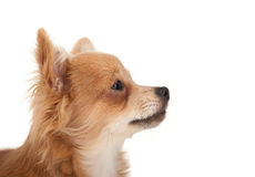 Long haired chihuahua puppy dog portrait. In front of a white background stock photography