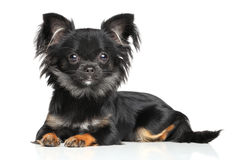 Long-Haired Chihuahua puppy. Lying on white background royalty free stock photography