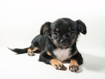 Long-Haired Chihuahua puppy. On white background stock images