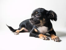 Long-Haired Chihuahua puppy. On white background royalty free stock image