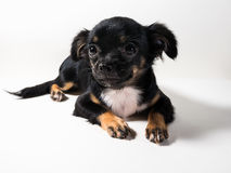 Long-Haired Chihuahua puppy. On white background royalty free stock photo