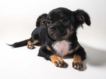 Long-Haired Chihuahua puppy Royalty Free Stock Photos