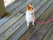 Long-haired Chihuahua. White and tan long-haired Chihuahua royalty free stock images