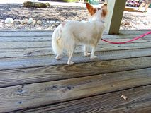 Long-haired Chihuahua. White and tan long-haired Chihuahua royalty free stock photography