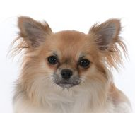 Long haired chiuhuahua Royalty Free Stock Photography