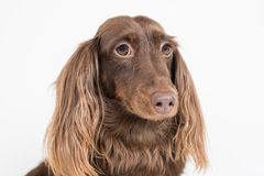 Long Haired Chocolate Dachshund Isolated Royalty Free Stock Photos