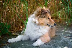 Long-haired collie puppy Royalty Free Stock Photo