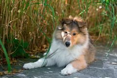 Long-haired collie puppy Royalty Free Stock Image