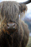 Long haired cow Stock Photography