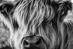 Long-haired cow looking towards the viewer. A very long-haired cow looks at the viewer through its hair, with its eyes obscured stock images