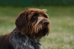 Long haired czech pointer Stock Photo