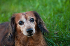 Long-haired dachshund. In grass portrait stock image