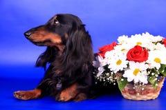 Long-haired dachshund стоковое изображение