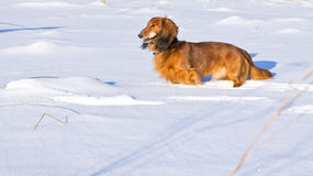 Long haired dachshund. Brown long haired dachshund outdoor in winter royalty free stock photos
