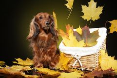 Long-haired dachshund in autumn leaves. Long-haired dachshund in falling autumn leaves on dark yellow background. Animal themes royalty free stock photography