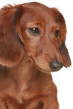 Long haired Dachshund dog. Little brown long haired Dachshund dog royalty free stock photo