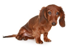 Long haired Dachshund dog. Little brown long haired Dachshund dog stock photos