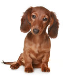 Long haired Dachshund dog. Little brown long haired Dachshund dog royalty free stock images