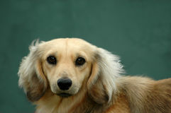 Long Haired Dachshund Dog Royalty Free Stock Photo