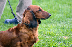 Long Haired Dachshund dog Stock Photo