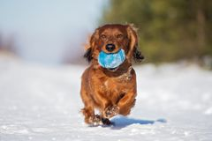 Red dachshund dog running outdoors in winter royalty free stock images