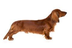 Long haired dachshund dog on white Stock Image