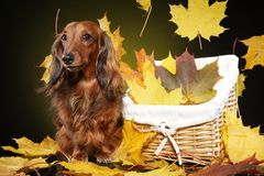 Long-haired dachshund in autumn leaves. Long-haired dachshund in falling autumn leaves. Animal themes royalty free stock images