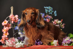 Long-haired dachshund with flowers. Long-haired dachshund in studio royalty free stock photography