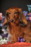 Long-haired dachshund with flowers Royalty Free Stock Images