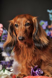 Long-haired dachshund with flowers. Long-haired dachshund in studio royalty free stock images