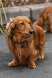 Long-haired Dachshund Out for a Walk. Red long-haired dachshund standing in the street royalty free stock photo