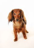 Long haired dachshund. Portrait of long haired dachshund facing the camera stock image
